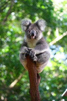 Lone Pine Koala Sanctuary, Australia // Lone Pine Koala Sanctuary is a 4.6-hectare Koala Sanctuary located in the Brisbane suburb of Fig Tree Pocket in Queensland, Australia. Founded in 1927, it is the world's oldest and largest Koala sanctuary