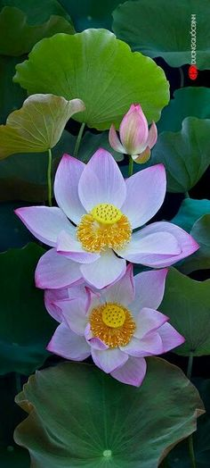 Lotus flowers _ DQĐ .