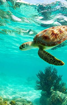 This sea turtle swims through the warm blue waters of the Caribbean. You can splash and swim in the sea, too, if you use a Groupon to book one of these vacations to Cancun and Punta Cana. Save The Sea Turtles, Baby Sea Turtles, Cute Turtles, Punta Cana, Cancun, Sea Turtle Wallpaper, Sea Turtle Pictures, Tier Wallpaper, Underwater Animals