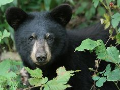 The Wildlife Center of Virginia has taken in almost a dozen starving and emaciated black bear cubs this spring, according to a report on News on Thursday. Wild Animals Pictures, Animal Pictures, American Black Bear, Black Bear Cub, Bear Signs, Bear Hunting, Most Beautiful Animals, Beautiful Things, Love Bear