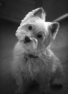 Love that Westie look. My first dog was called Babie, a West Highland White.