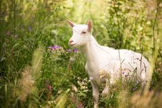 Goat Emerges from Long Grass by Visual World on @creativemarket