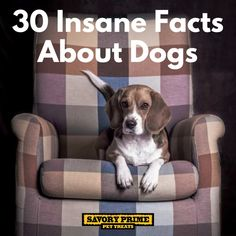 Are you interested in a Beagle? Well, the Beagle is one of the few popular dogs that will adapt much faster to any home. Most Popular Dog Breeds, Best Dog Breeds, Baby Beagle, Pocket Beagle, Dog Dad Gifts, Cute Beagles, Cute Puppy Pictures, Pet News, Dog Facts