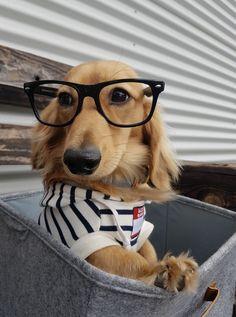 irresistible! #dachshund #cooldogsstuff