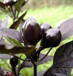 """Black Pearl Hot Pepper - 4 Plants - Ornamental/Edible by Hirts: Vegetable; Pepper. Save 25 Off!. $5.99. Black leaves. Very shiny black fruit matures dark red. Very, Very hot. Grow in a pot and bring inside in the winter. This is a """"Pre-Order"""". Shipping begins on March 1st! Disregard the initial shipping email if purchased before your shipping date. A tracking number will migrate to your account when the plants actually ship.. HOT PEPPERS: When Wilbur Scoville first devised a means to test…"""
