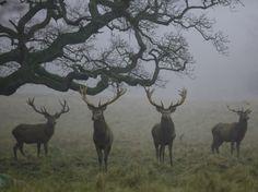 animals tree Black and White nature mist deer fog bleak Hart elk Rogue Assassin, Yennefer Of Vengerberg, Southern Gothic, Red Deer, James Potter, The Secret History, Dragon Age, Outlander, Mists
