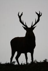Panoramio - Photo of Red Deer Silhouette