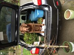 One smart pooch makes sure he keeps his space with all the plants in the back of a Subaru. #subarugardens #nwfgs