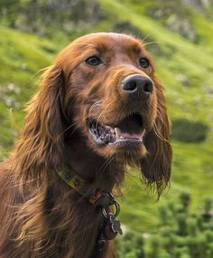 Most Lively Dogs, #1- Irish Setter