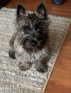 Adorable Dogs, Cute Puppies, Dog Pictures, Animal Pictures, Cool Bedrooms For Teen Girls, Cairn Terrier Puppies, Animals And Pets, Cute Animals, Scottie Dogs