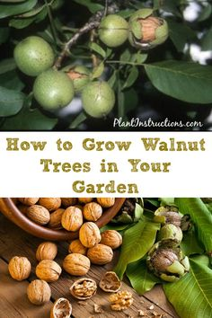 How to Grow Walnut Trees is part of Walnut tree - If you're looking to learn how to grow walnut trees, this DIY gardening guide will give you step by step instructions! Home Vegetable Garden, Fruit Garden, Garden Trees, Edible Garden, Garden Plants, Growing Fruit Trees, Growing Tree, Growing Plants, Growing Vegetables