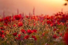 Explore amazing art and photography and share your own visual inspiration! November 11 Remembrance Day, Paint Prep, Ribbon Flower Tutorial, California Poppy, Red Poppies, Pretty Pictures, Flower Power, Art Photography, Beautiful Places