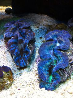 Got one of these, it's a Maxima Clam. Super pretty clams, and pricey...