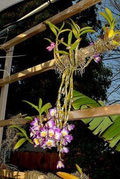 Dendrobium Nobile, Orquideas Cymbidium, Cactus, Green Plants, Diy Flowers, Beautiful Flowers, Floral, Bloom, Gardening