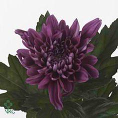Chrysanthemum Blooms Resomee Splendid are a purple disbudded, single headed cut flower variety. 70cm tall & wholesaled in 10 stem wraps.