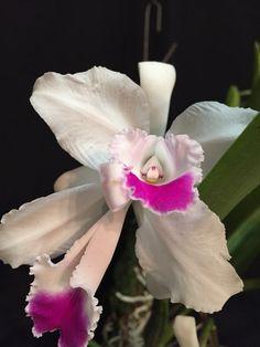 Orquídea Cattleya Quadricolor