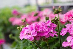 Így lesz nyugis az ünnepi időszak - Növények, amelyek javítják a hangulatodat