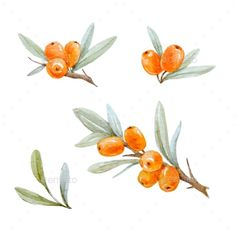 Buy Watercolor Sea Buckthorn by Zenina on GraphicRiver. Beautiful watercolor illustration of sea buckthorn berries with leaves Illustration Blume, Fruit Illustration, Watercolor Illustration, Watercolor Plants, Floral Watercolor, Watercolor Paintings, Watercolor Artists, Abstract Paintings, Oil Paintings