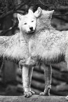 Wolves are naturally affectionate with each other.