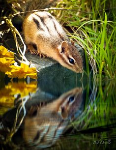 Chipmunk Reflection Photograph by Bob Orsillo - Chipmunk Reflection Fine Art Prints and Posters for Sale I love chipmunks! Animals And Pets, Baby Animals, Cute Animals, Small Animals, Chipmunks, Beautiful Creatures, Animals Beautiful, Hamsters, Rodents