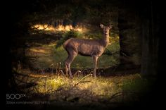Deer by LarsMIK #animals #animal #pet #pets #animales #animallovers #photooftheday #amazing #picoftheday