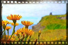 #wildflowers  #Summer #dandilions