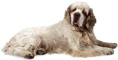 The dog in world: Clumber Spaniel dogs Clumber Spaniel, Spaniel Dog, Spaniels, Dog Photos, Dog Pictures, Training Dogs, Kinds Of Dogs, Medium Dogs, Large Dogs