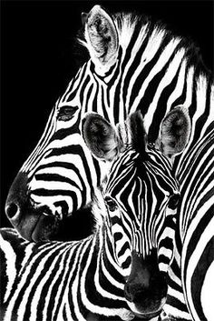 Zebra & Foal - Black and White Beauty Arte Zebra, Zebra Kunst, Zebra Art, Baby Posters, Animal Posters, Animals And Pets, Baby Animals, Cute Animals, Exotic Animals
