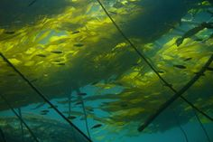 Undersea forests of bull kelp are found along the Pacific Northwest coast.