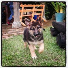 German sheperd puppy lovely ♥♥♥♥