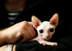Sphynx kitty - I want! I Love Cats, Crazy Cats, Cool Cats, Hairless Kitten, Sphynx Cat Tattoo, Baby Animals, Cute Animals, Fluffy Animals, Sphinx Cat