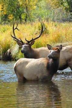 Elk in Rocky Mountain National Park- Karen Harris from Lincoln, NE Cow Elk, Moose Deer, Deer Wallpaper, Animal Wallpaper, Beautiful Creatures, Animals Beautiful, Nebraska, Elk Pictures, Animals And Pets