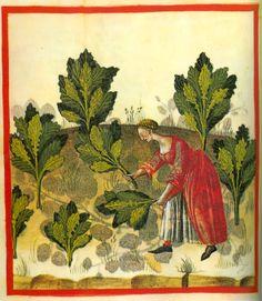 tacuinum+sanitatis+cabbage Tacuina sanitatis (XIV secolo)
