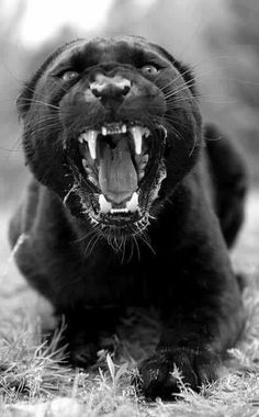 Panther hyped tf up. Big Cats, Cool Cats, Beautiful Cats, Animals Beautiful, Black Panther Cat, Animals And Pets, Cute Animals, Gato Grande, Exotic Cats