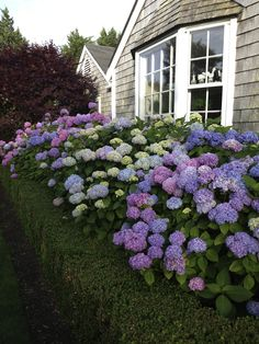 Heavenly hydrangeas and shingle cottage