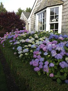 Hortencias: Sus flores pueden ser rosas, blancas, o azules, dependiendo en parte del pH del suelo. En suelos relativamente ácidos, con pH entre 4,5 y 5, las flores se hacen azules; en suelos más alcalinos, con pH entre 6 y 6,5, las flores adquieren un color rosa; y en suelos alcalinos con pH alrededor de 8, las flores crecen blancas.