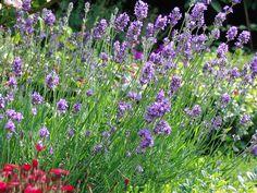Lavendel 'Munstead' - Lavandula angustifolia 'Munstead'