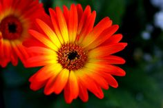 Orange Yellow Gerbera Daisy