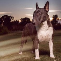 Beautiful English Bull Terrier