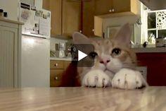 Bert The Cat vs Table TREATS - Love Meow