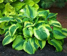 Large Hosta Cultivar Hosta Afterglow is a sport of Climax with a wider gold margin. Stunning mound of heart-shaped green foliage with wide gold margins. Hosta Plants, Shade Perennials, Flowers Perennials, Shade Plants, Garden Plants, Planting Flowers, Flower Gardening, Shade Flowers, Lavender Flowers