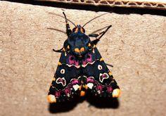 Polytela gloriosae, Lily Moth by KarenYT, via Flickr