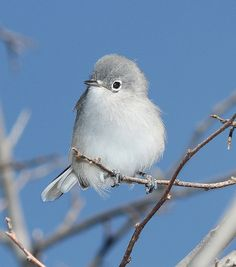 Black Capped Gnatcatcher