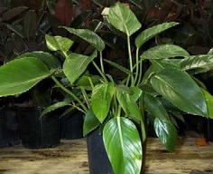 Philodendron domesticum (hastatum) - Glasshouse Works 5 bucks