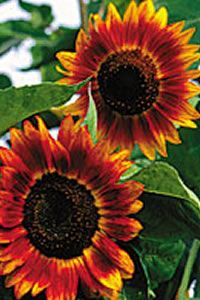 Evening Sun Sunflowers from Baker's Creek Heirloom Seeds