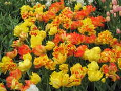 Explosão de cores nos canteiros de tulipas