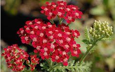 AllgäuStauden Schafgarbe Achillea Millefolium-Hybride 'Petra'