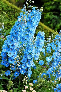 "I love Delphinium!!  Its cousin, larkspur is nice also...can grow from seed.  But can't match the awesome blue of delphinium in larkspur...more pinks purples & whites there.  Nancy Drew book I read as a kid was ""Password to Larkspur Lane!""  :-). If I had a flower name, it would be Lily Larkspur!!"