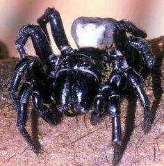 Aranhas-teias-de-funil . Típicas da Austrália, essas aranhas são conhecidas por ter presas bem grandes que podem chegar a 2 centímetros. O veneno que carregam é muito poderoso, considerado um dos mais fatais do mundo. Apesar de existir um antídoto para o veneno, ele deve ser aplicado rapidamente (em questão de horas), já que as pessoas podem ter sequelas permanentes ou entrar em óbito.