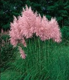 Ohhhh i LOVE THIS! Cotton Candy Pompous Grass - withstands heat, humidity, poor soil and even drought. Very easy to grow, it reaches a mature height of 3-4 feet tall and gets 3-4 feet wide. Grows in all U.S zones.